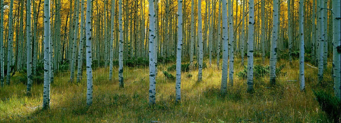 Aspens, forêt de trembles, Ashley National Forest, Utah