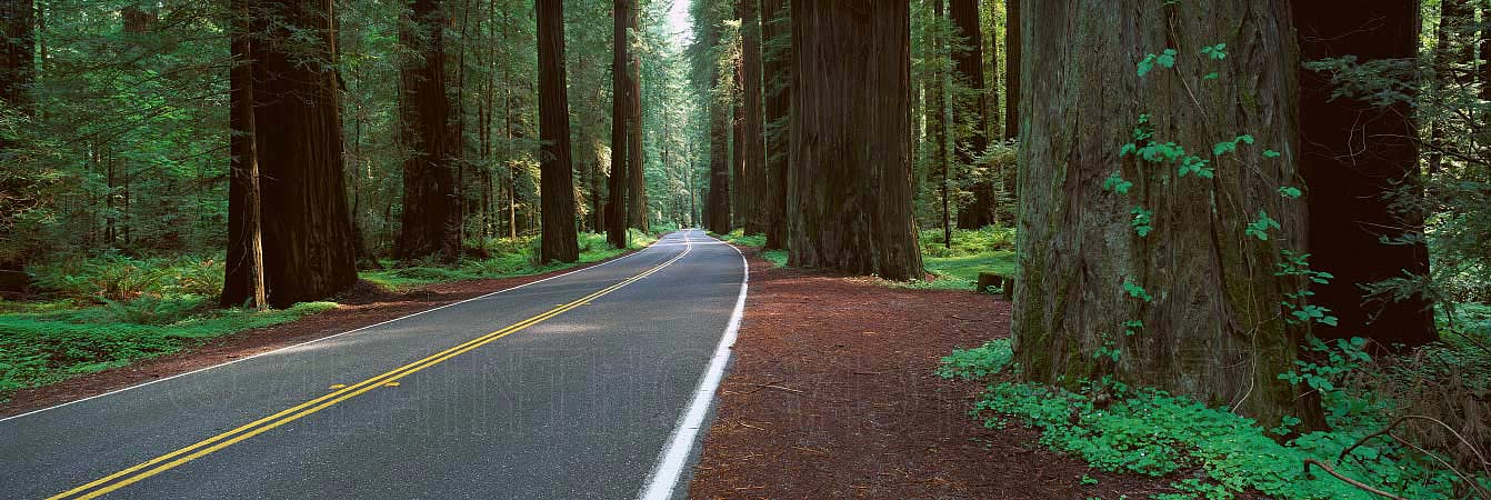 Avenue of the Giants at Rolph Grove, Humboldt Redwoods, California