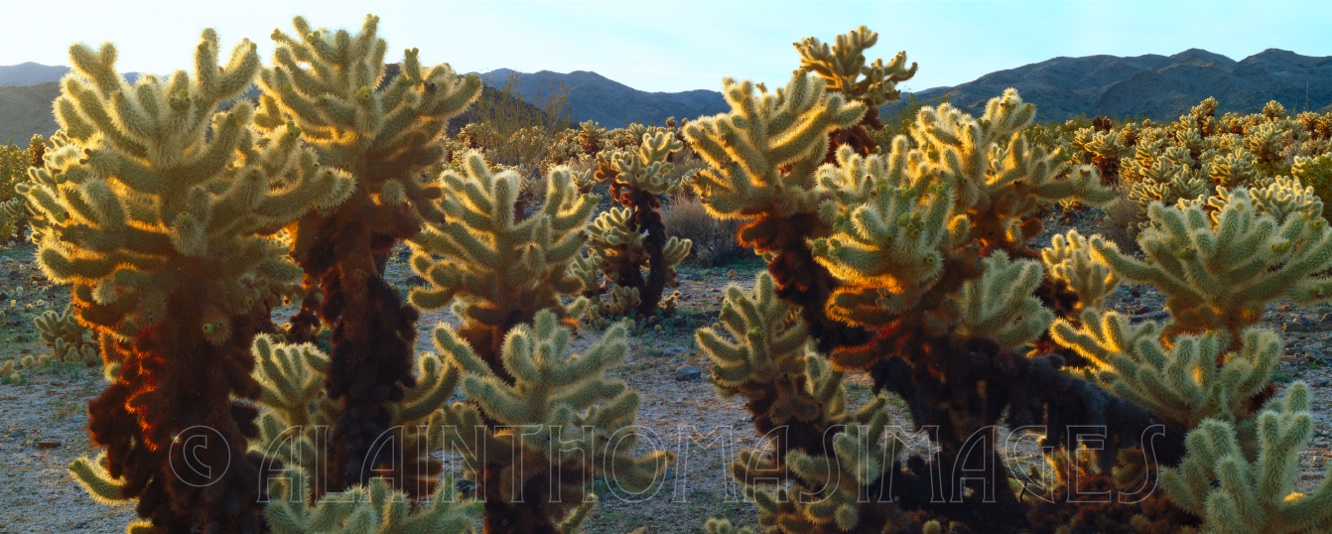 Teddybear chollas, Joshua Tree National Park, California
